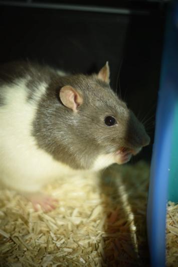 RIP à mes deux premières rattes Dsc_0412