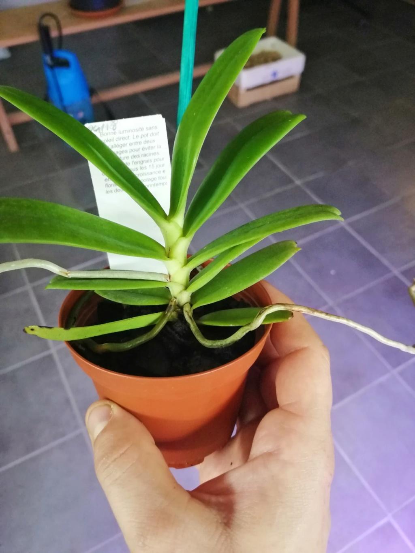voici mes n'orchidée dans mon phytotron Aeran10