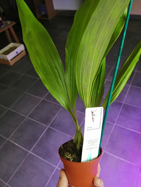 voici mes n'orchidée dans mon phytotron Gongo10