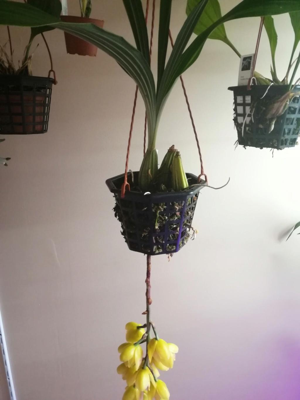 voici mes n'orchidée dans mon phytotron Img_2019