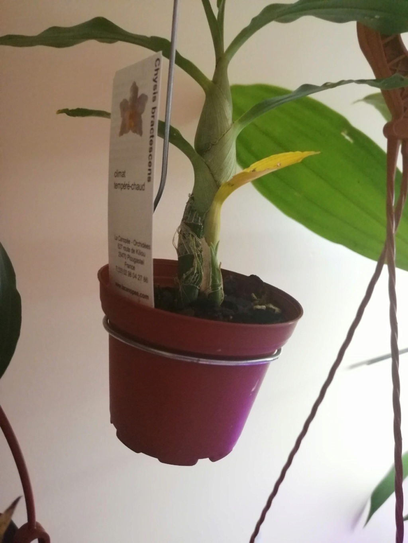 voici mes n'orchidée dans mon phytotron Img_2020