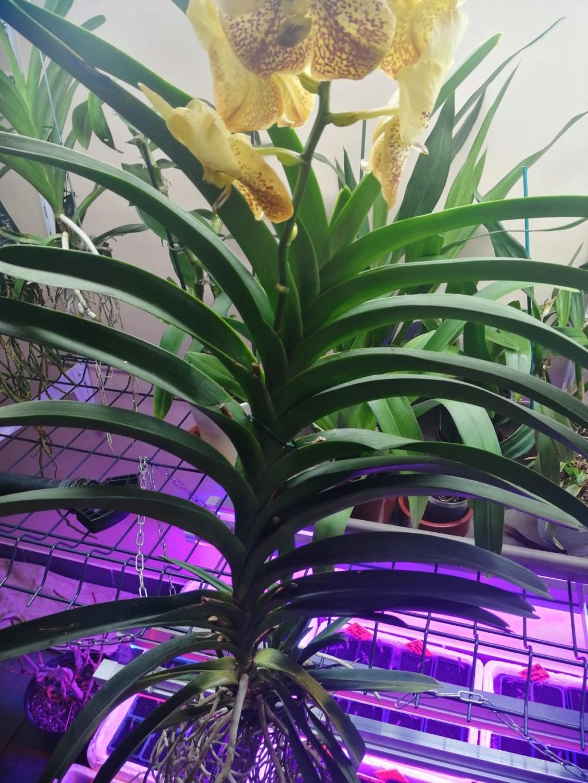 voici mes n'orchidée dans mon phytotron Img_2022