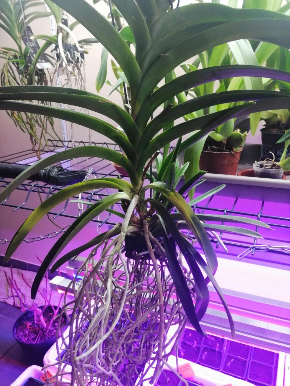 voici mes n'orchidée dans mon phytotron Img_2023