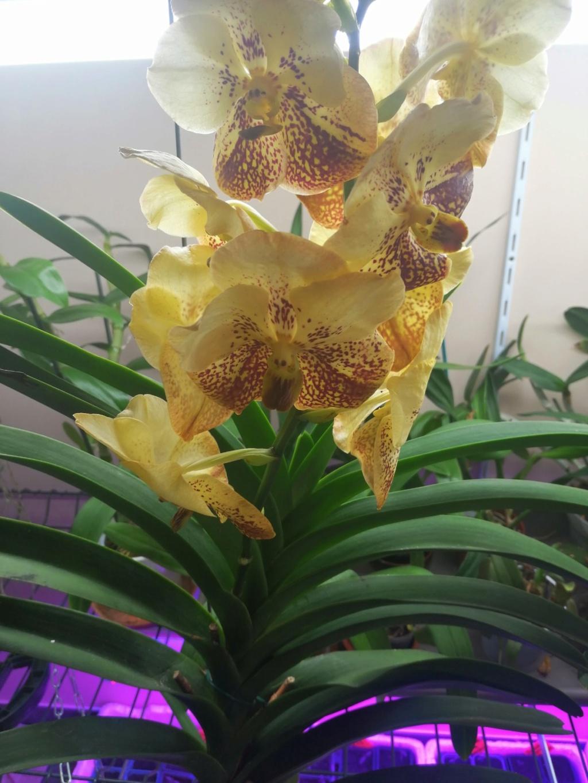voici mes n'orchidée dans mon phytotron Img_2024