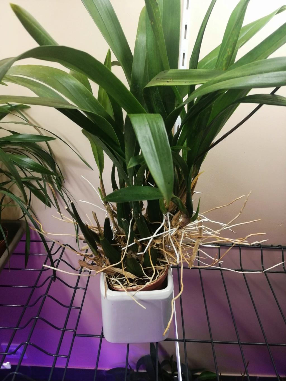voici mes n'orchidée dans mon phytotron Img_2027