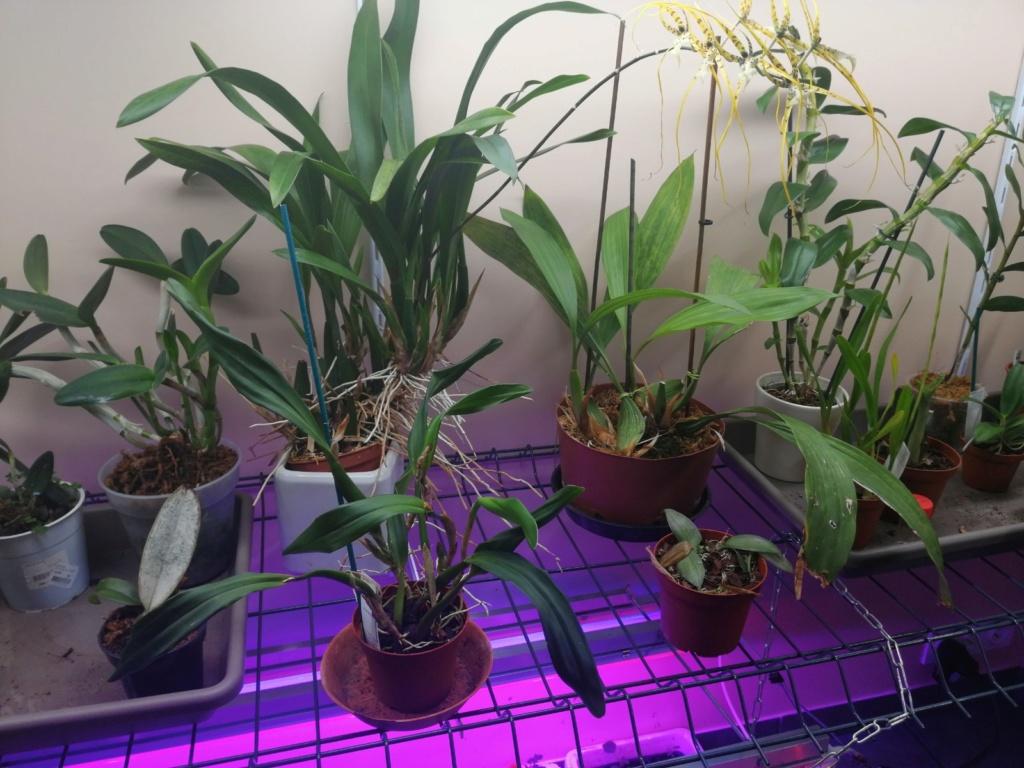 voici mes n'orchidée dans mon phytotron Img_2030