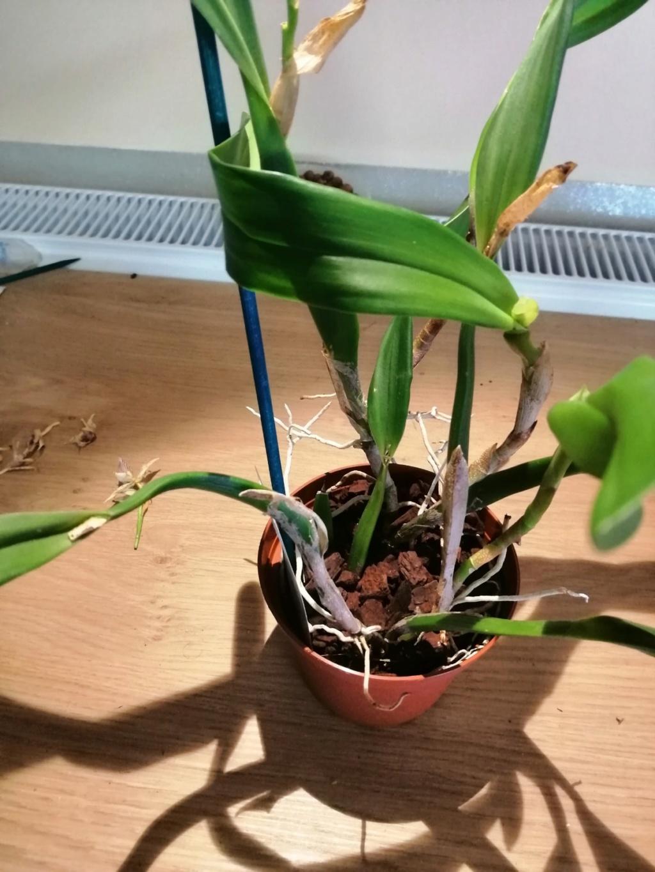 voici mes n'orchidée dans mon phytotron Proste10