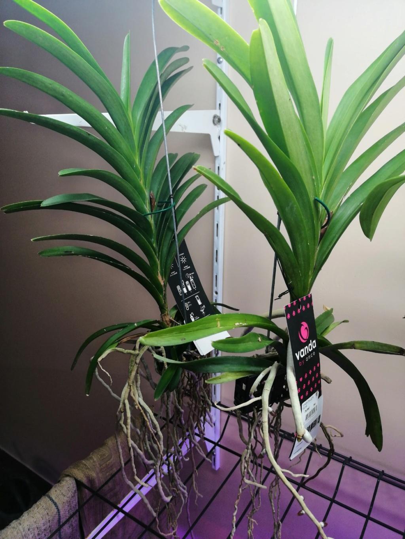 voici mes n'orchidée dans mon phytotron Vanda10