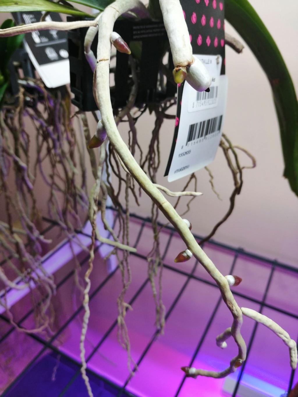 voici mes n'orchidée dans mon phytotron Vanda_10