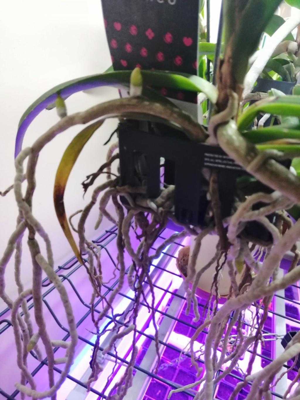 voici mes n'orchidée dans mon phytotron Vanda_11
