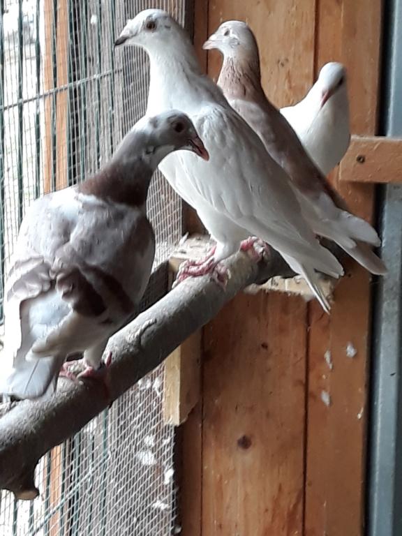 Autres pigeons. 20180834
