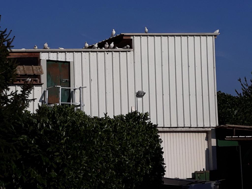 Autres pigeons. 20180835