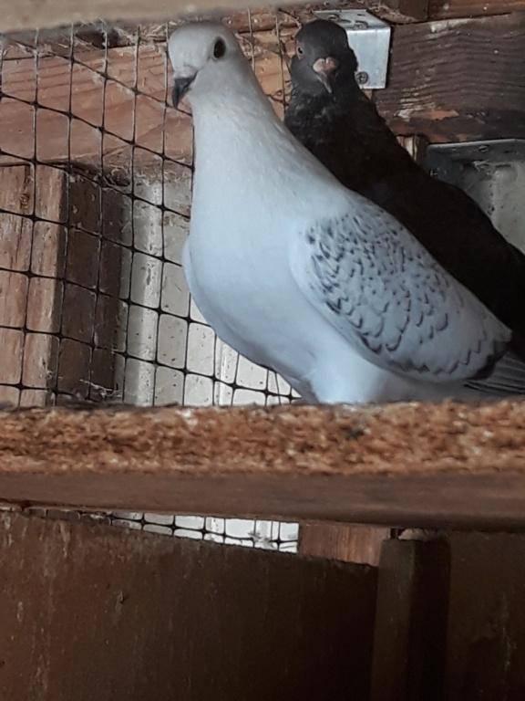 Autres pigeons. 20180910