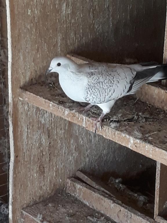 Autres pigeons. 20180912