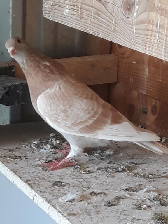 Autres pigeons. 20180913