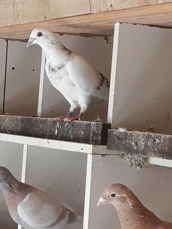 Autres pigeons. 20180915