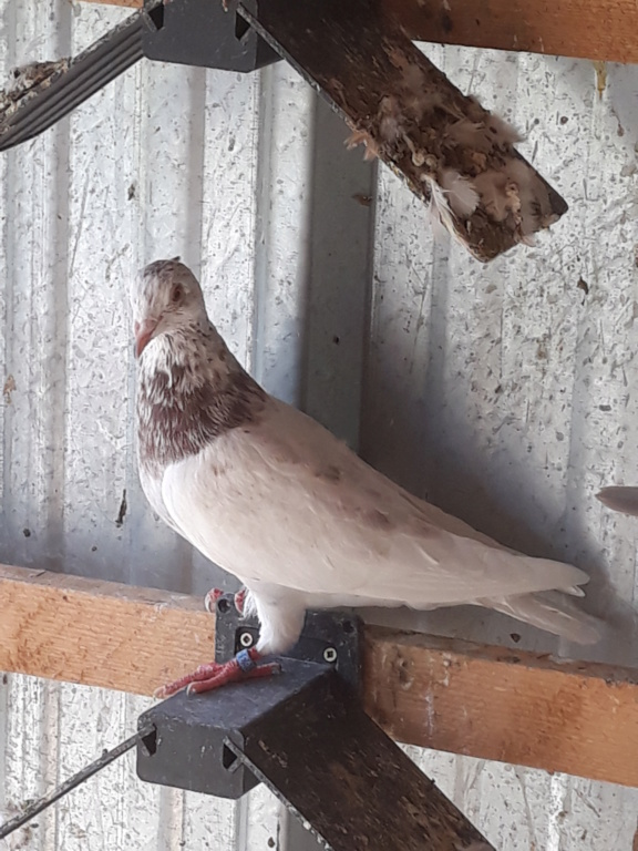 Autres pigeons. 20180916