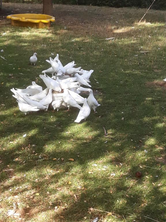 Autres pigeons. 20180918