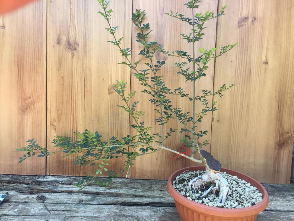 Recupero bonsai Frassino Situaz10