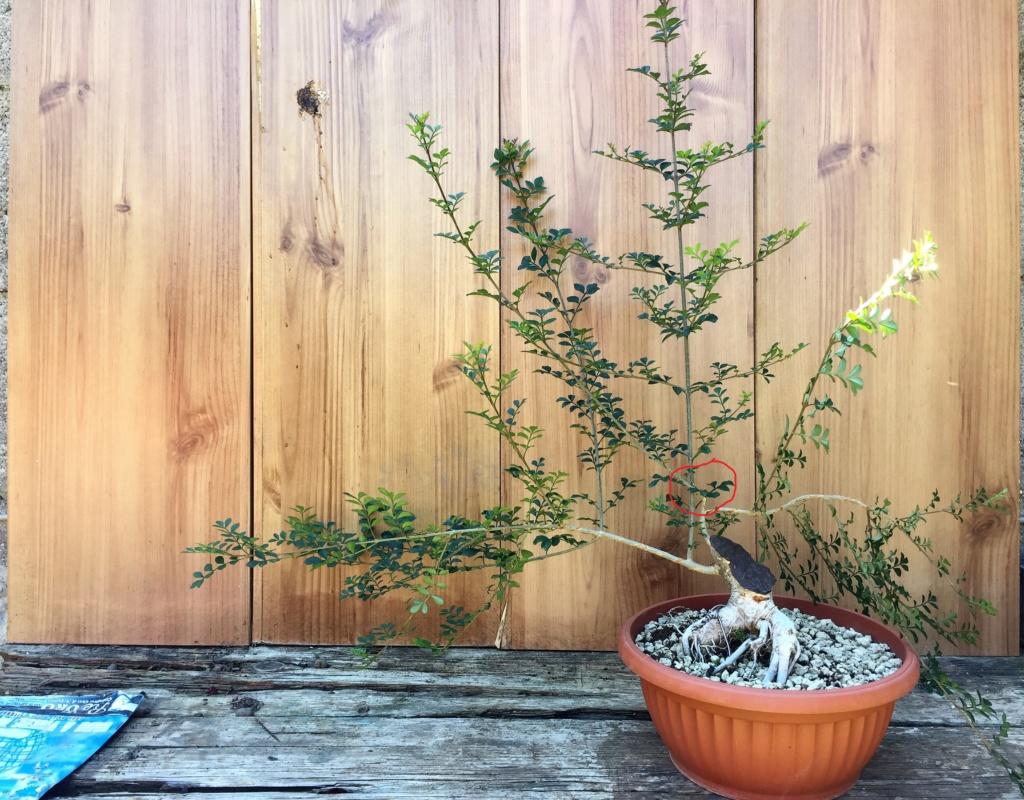 Recupero bonsai Frassino Situaz11