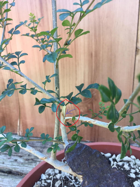 Recupero bonsai Frassino Situaz12