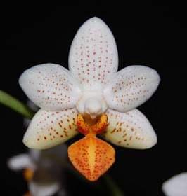 Orchidee Schimmel/Pilz?? Hilfe :( 10917210