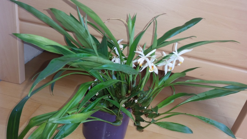 Coelogyne huettneriana - Coel. elgans 20190410