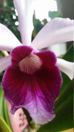 Laelia purpurata Varianten - Seite 6 20190623