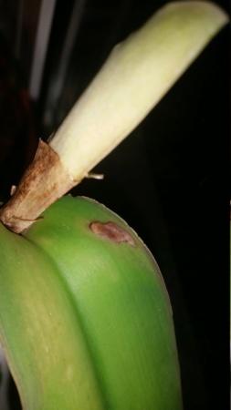 Cattleya maxima braune Flecken 20190910