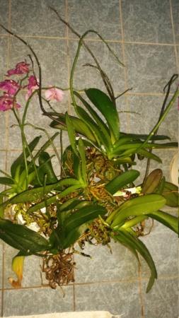 Orchidee Schimmel/Pilz?? Hilfe :( 20201035