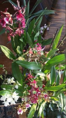 Welche Orchidee bei Zimmertemperatur 20201214