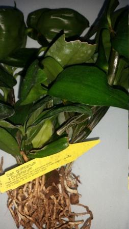 Dendrobium thyrsiflorum - Seite 9 20210120