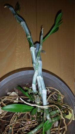 Dendrobium parishii - Seite 6 20210411