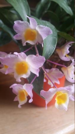Dendrobium farmeri - Seite 5 20210510