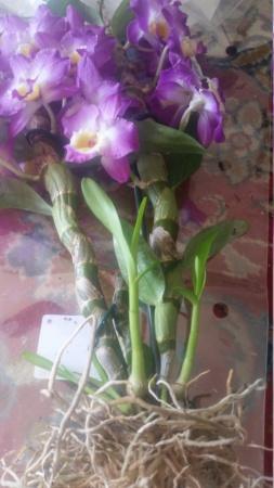 Kräftige Dendrobium 20210511