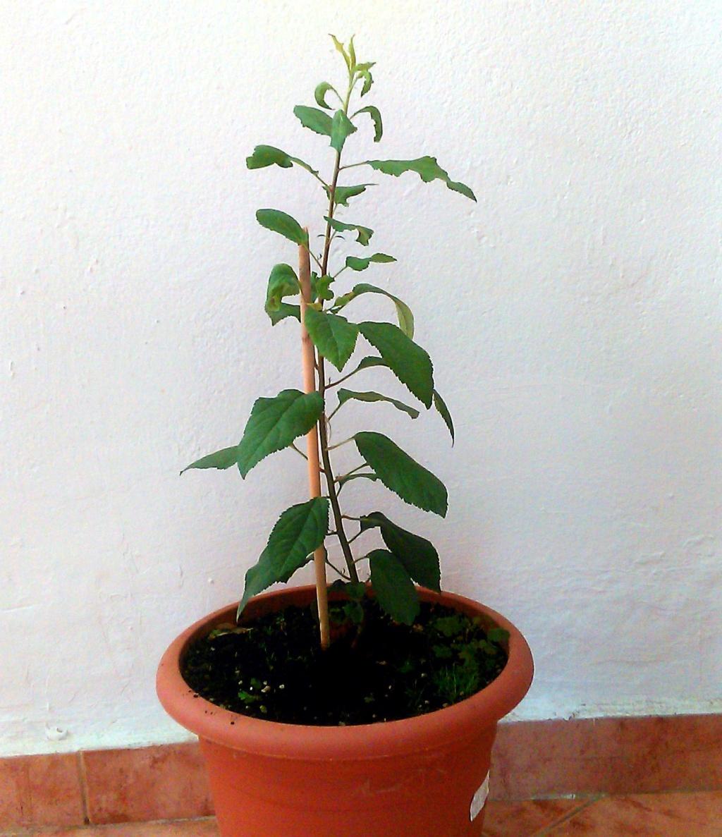 Come iniziare a bonsai un Melo nato da seme Img_2017