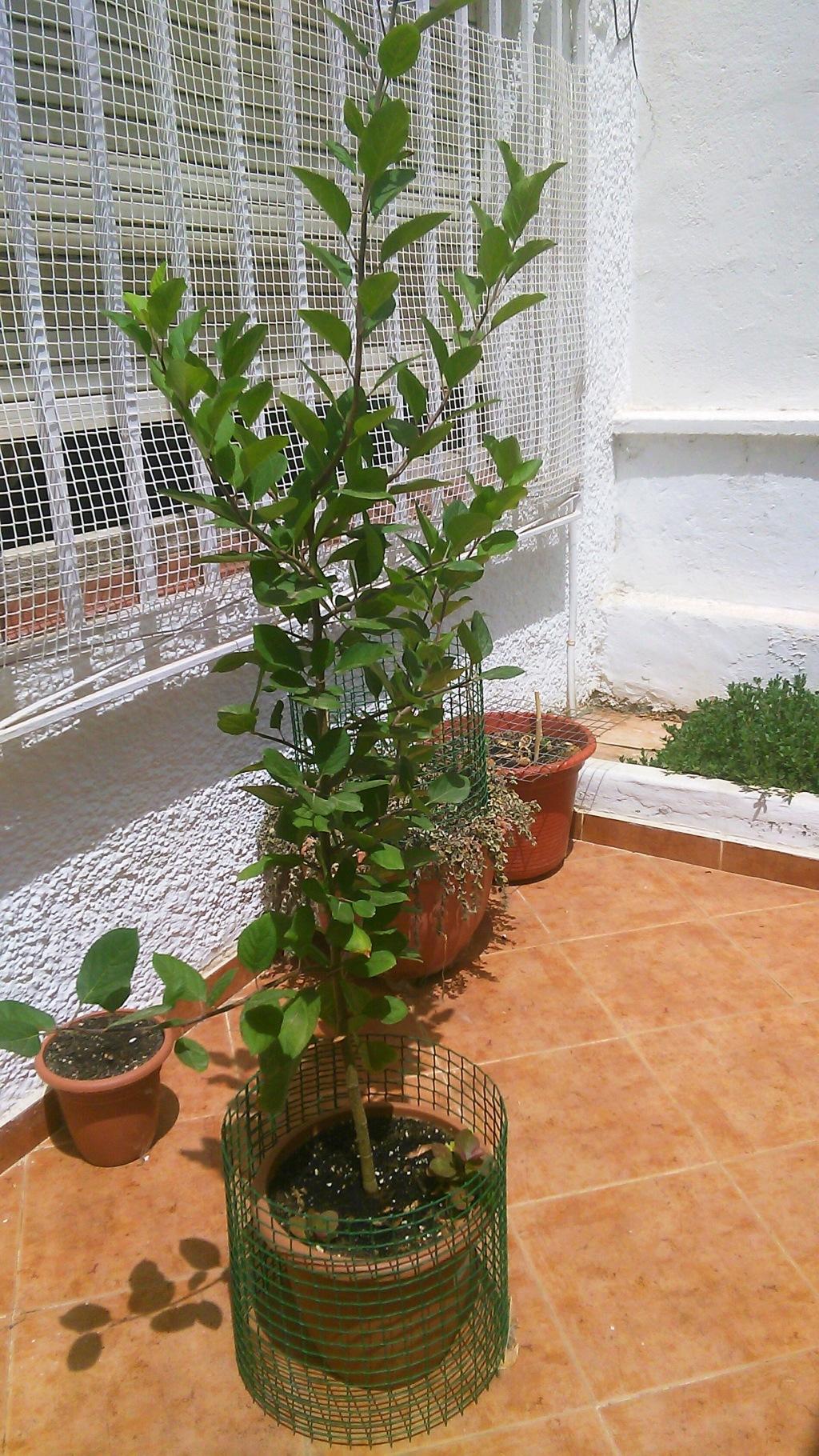 Come iniziare a bonsai un Melo nato da seme Img_2022