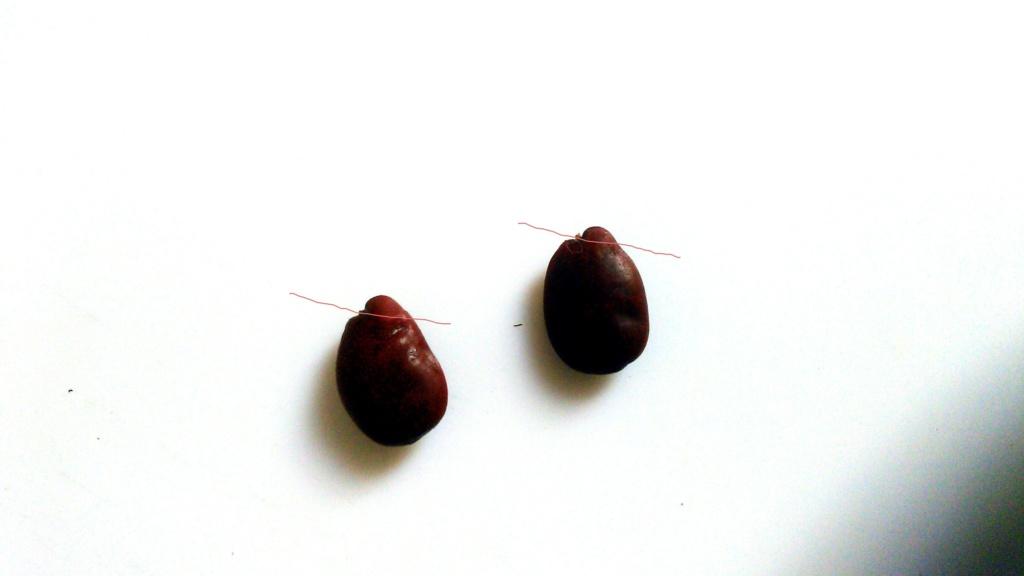 Semillas de algarroba rehidratadas y no, para siembra. Img_2042