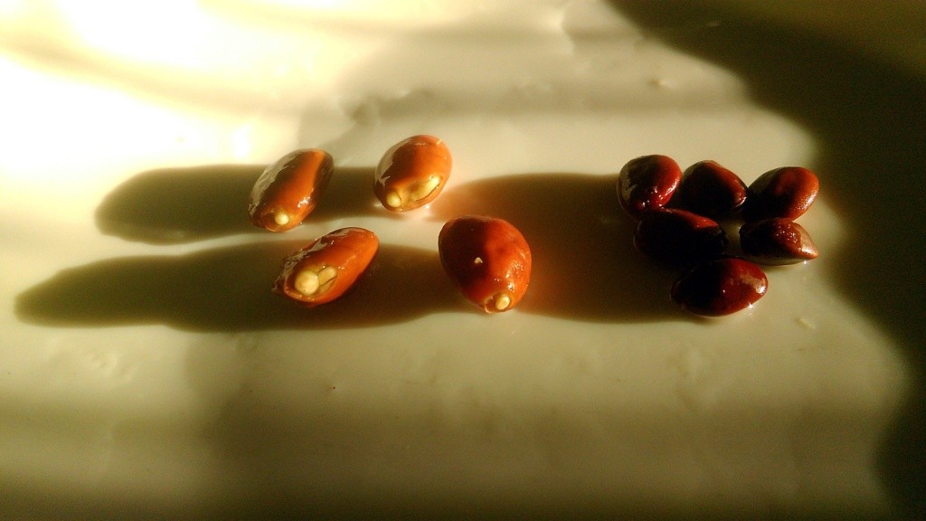 Semillas de algarroba rehidratadas y no, para siembra. Img_2043