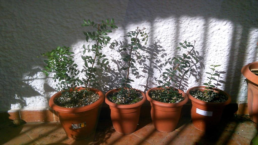 Lentisco bonsai da seme Img_2054