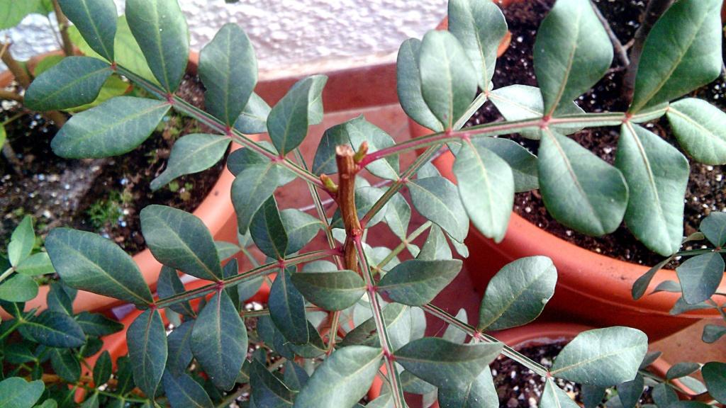 Lentisco bonsai da seme Img_2055