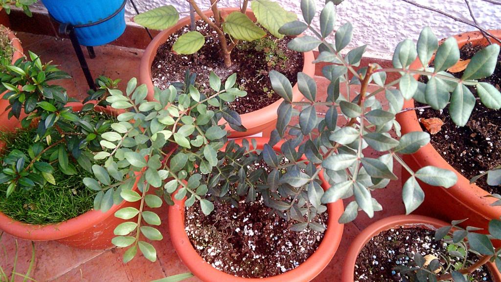Lentisco bonsai da seme Img_2056