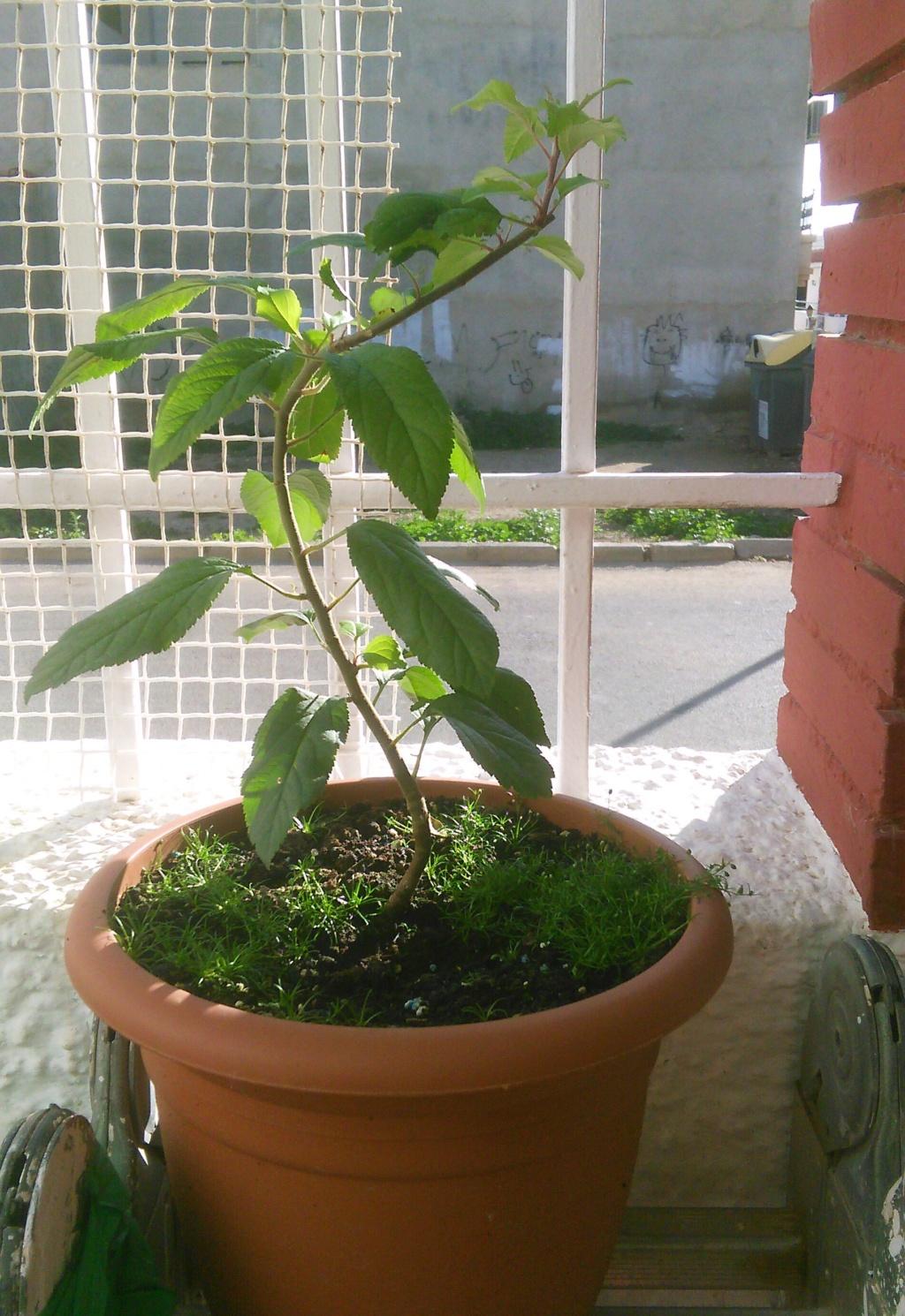 Come iniziare a bonsai un Melo nato da seme Img_2065