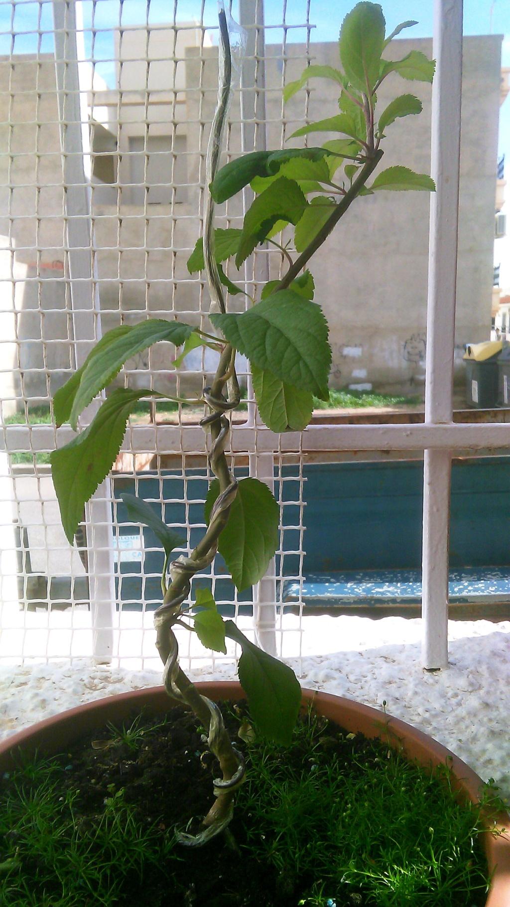 Come iniziare a bonsai un Melo nato da seme Img_2066
