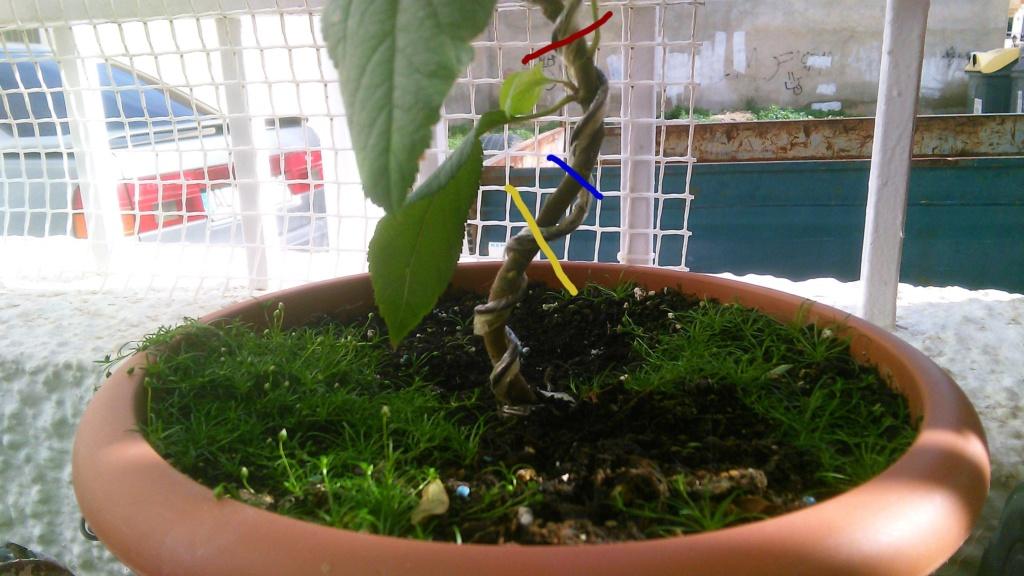 Come iniziare a bonsai un Melo nato da seme Img_2067