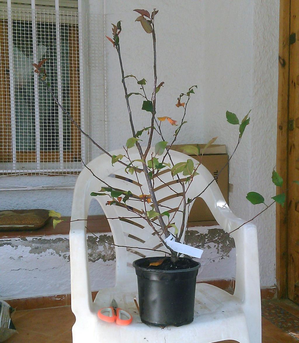 Compré esta plántula de Malus Prairie Fire de 70 cm de altura, corté las ramitas que giraban hacia dentro y la replanté. Quiero hacer un bonsai Omono: de 80 a 120 cm de altura. ¿Cómo procedo? Prairi10