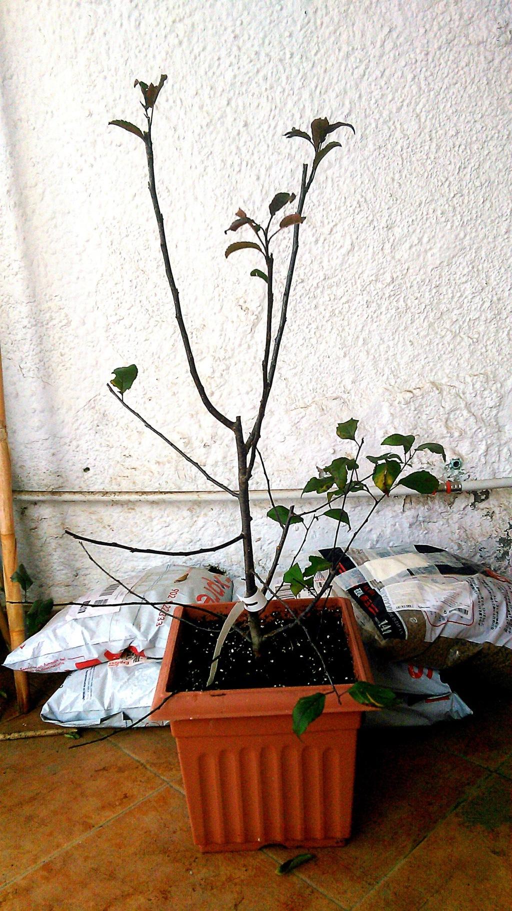 Compré esta plántula de Malus Prairie Fire de 70 cm de altura, corté las ramitas que giraban hacia dentro y la replanté. Quiero hacer un bonsai Omono: de 80 a 120 cm de altura. ¿Cómo procedo? Prairi11