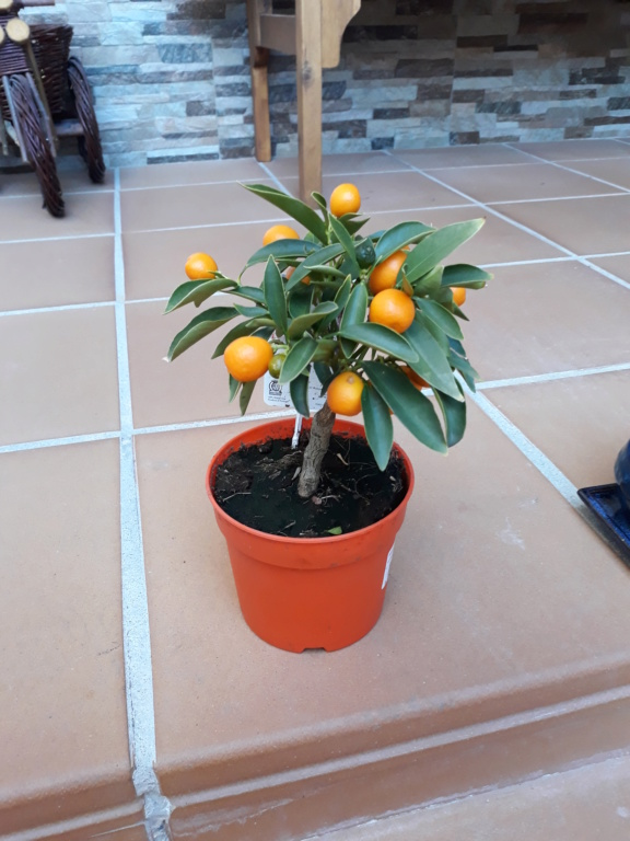 Transplante Kumquat 20190212