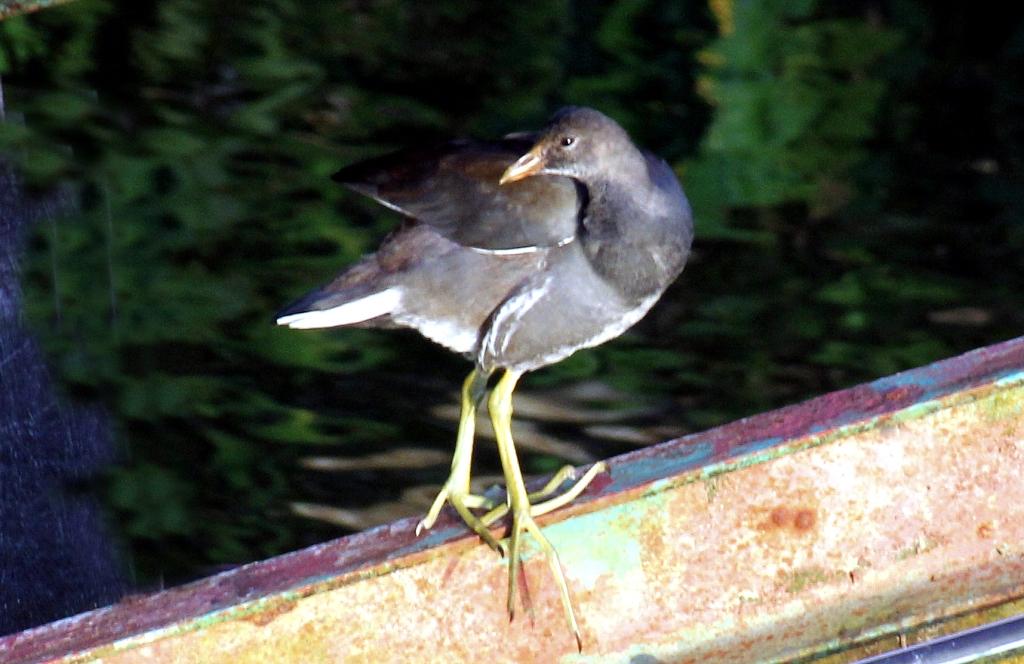 Gallinule poule d'eau (juvénile) (Un zozio à identifier ... Merci à tous !) Ziozio10