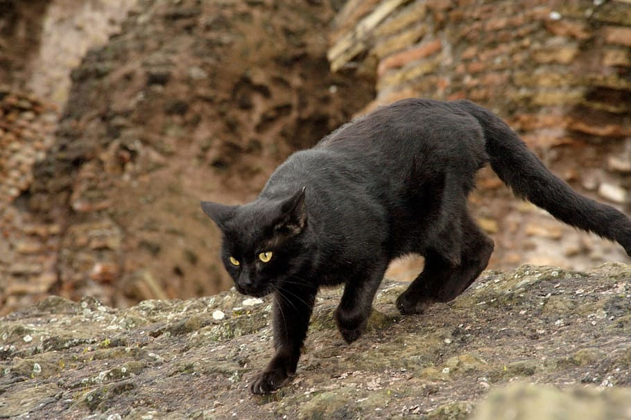 As everyone knows bombay cat Bombay10